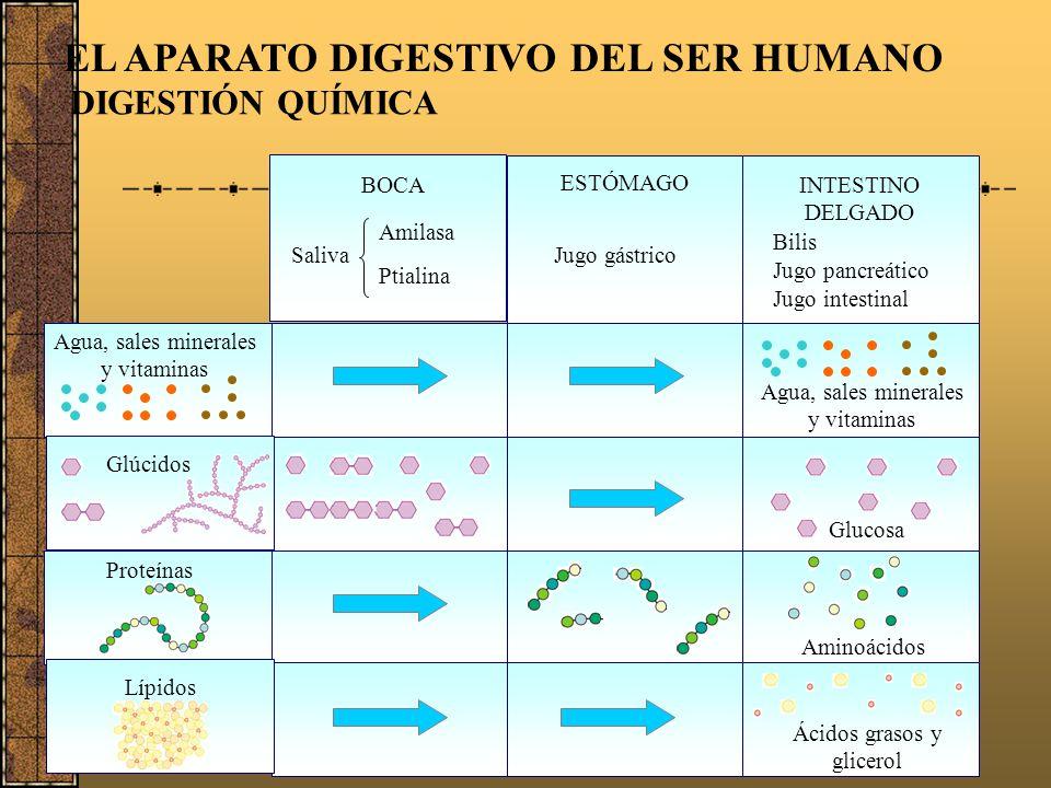 EL APARATO DIGESTIVO DEL SER HUMANO Esófago Estómago Tiempo de permanencia de los alimentos 10 a 15 segundos 2 a 8 horas 15 horas 7 a 8 horas