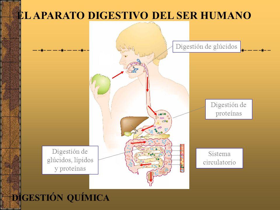 EL APARATO DIGESTIVO DEL SER HUMANO Glúcidos Proteínas Lípidos Agua, sales minerales y vitaminas BOCA Saliva Amilasa Ptialina Glucosa ESTÓMAGO INTESTI