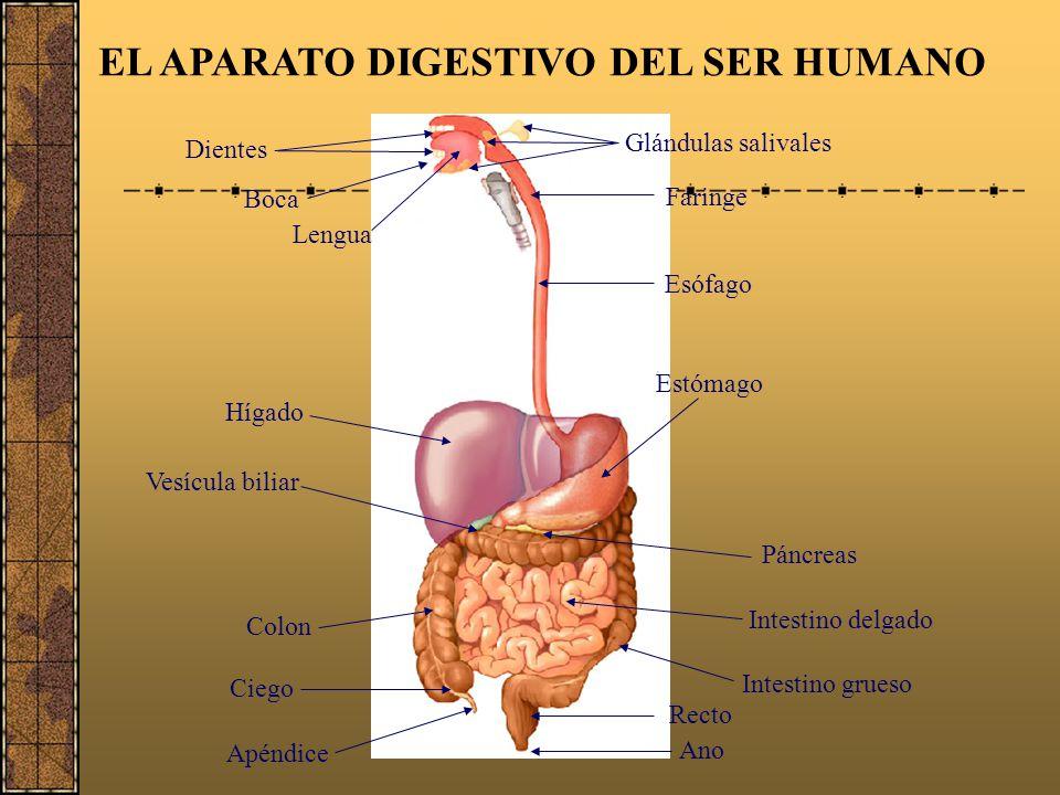 La digestión Observando la animación vamos a definir el proceso de digestión: La digestión es un proceso mediante el cual las enzimas digestivas rompe