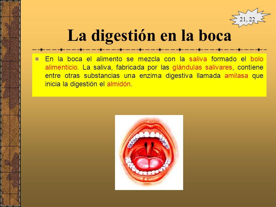 EL APARATO DIGESTIVO DEL SER HUMANO Dientes Lengua Glándulas salivales Estómago Vesícula biliar Colon Ciego Apéndice Hígado Páncreas Intestino delgado