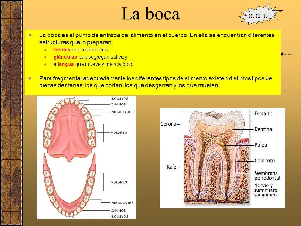 La digestión en la boca En la boca el alimento se mezcla con la saliva formado el bolo alimenticio. La saliva, fabricada por las glándulas salivares,