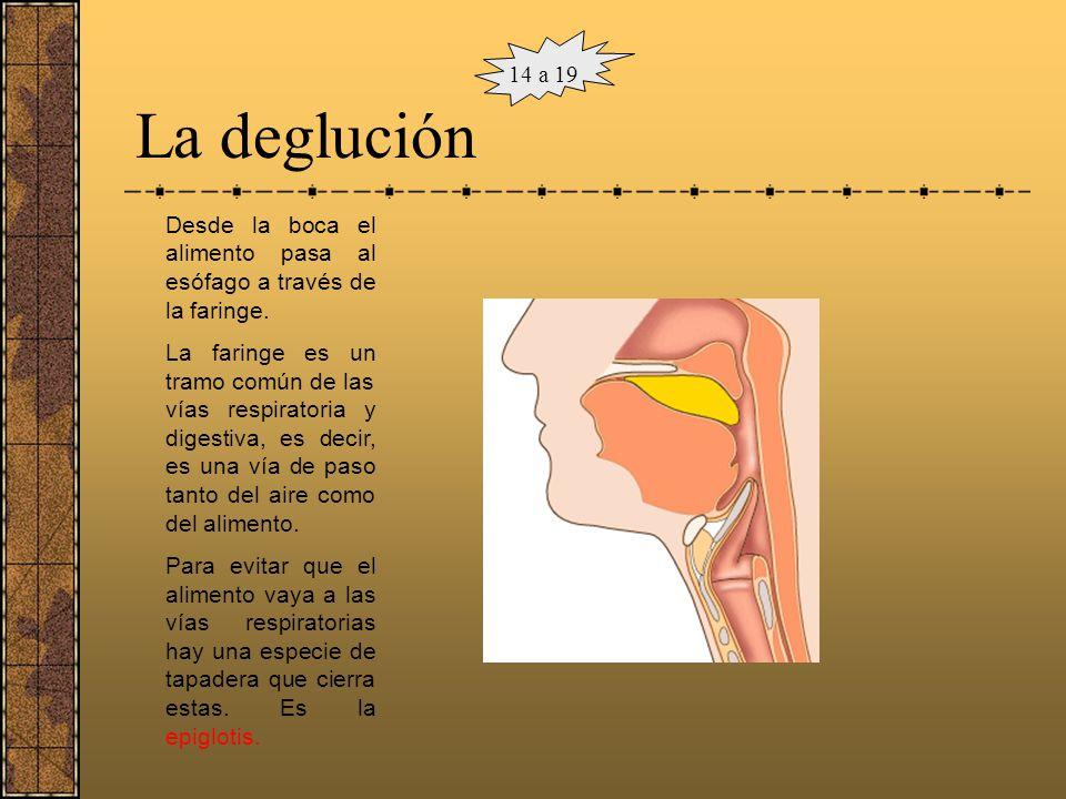 La boca La boca es el punto de entrada del alimento en el cuerpo. En ella se encuentran diferentes estructuras que lo preparan: Dientes que fragmentan
