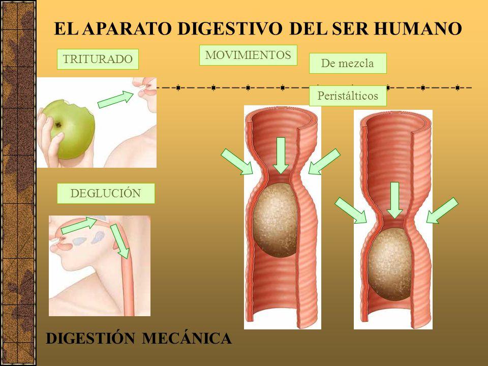 La deglución Desde la boca el alimento pasa al esófago a través de la faringe. La faringe es un tramo común de las vías respiratoria y digestiva, es d