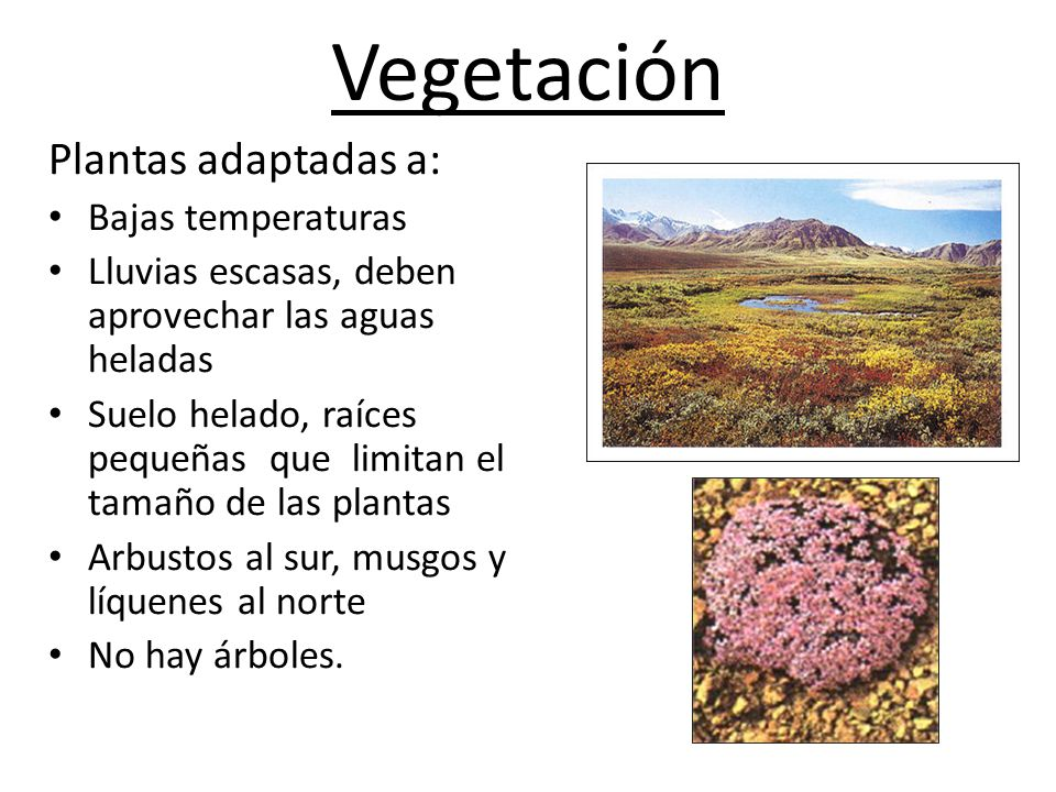 Vegetación Plantas adaptadas a: Bajas temperaturas Lluvias escasas, deben aprovechar las aguas heladas Suelo helado, raíces pequeñas que limitan el tamaño de las plantas Arbustos al sur, musgos y líquenes al norte No hay árboles.