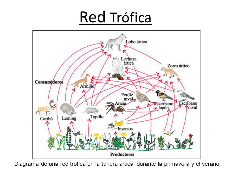Red Trófica Diagrama de una red trófica en la tundra ártica, durante la primavera y el verano.