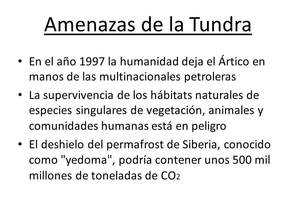 Amenazas de la Tundra En el año 1997 la humanidad deja el Ártico en manos de las multinacionales petroleras La supervivencia de los hábitats naturales de especies singulares de vegetación, animales y comunidades humanas está en peligro El deshielo del permafrost de Siberia, conocido como yedoma , podría contener unos 500 mil millones de toneladas de CO 2