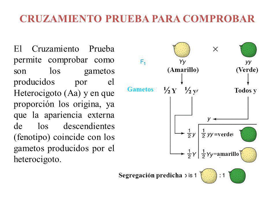 CRUZAMIENTO PRUEBA PARA COMPROBAR El Cruzamiento Prueba permite comprobar como son los gametos producidos por el Heterocigoto (Aa) y en que proporción