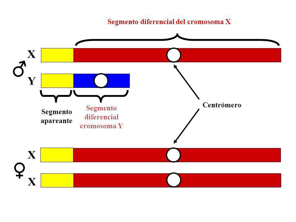X X Segmento diferencial del cromosoma X Segmento diferencial cromosoma Y X Y Segmento apareante Centrómero