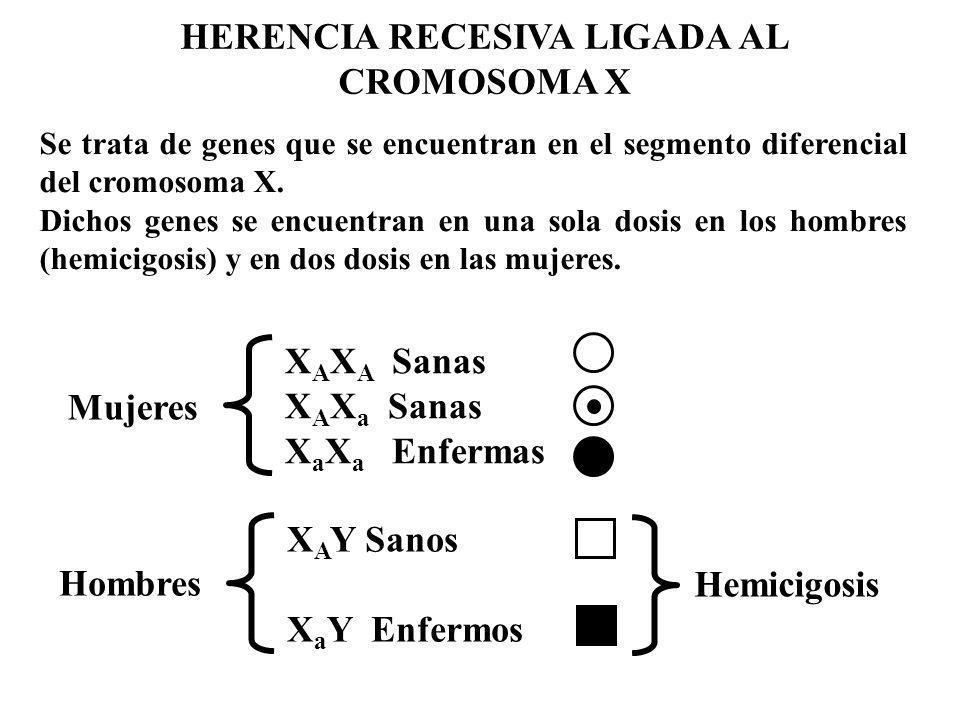 HERENCIA RECESIVA LIGADA AL CROMOSOMA X Mujeres X A X A Sanas X A X a Sanas X a X a Enfermas Hombres X A Y Sanos X a Y Enfermos Se trata de genes que