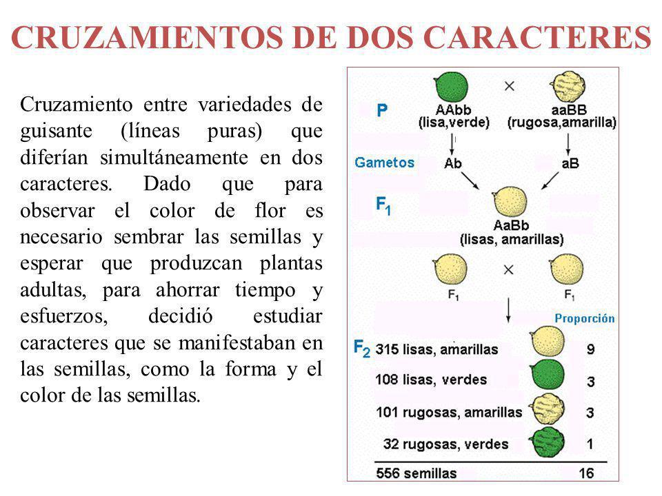 CRUZAMIENTOS DE DOS CARACTERES Cruzamiento entre variedades de guisante (líneas puras) que diferían simultáneamente en dos caracteres. Dado que para o