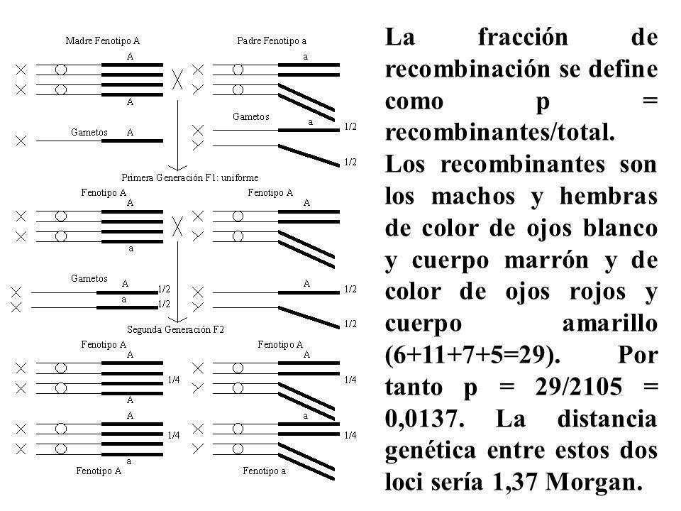 La fracción de recombinación se define como p = recombinantes/total. Los recombinantes son los machos y hembras de color de ojos blanco y cuerpo marró