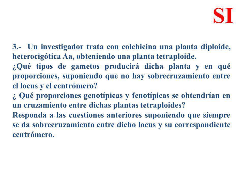 3.- Un investigador trata con colchicina una planta diploide, heterocigótica Aa, obteniendo una planta tetraploide. ¿Qué tipos de gametos producirá di