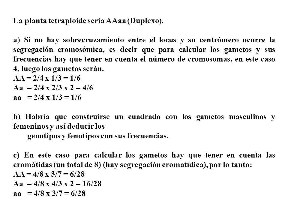 La planta tetraploide sería AAaa (Duplexo). a) Si no hay sobrecruzamiento entre el locus y su centrómero ocurre la segregación cromosómica, es decir q