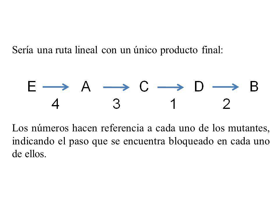 Sería una ruta lineal con un único producto final: Los números hacen referencia a cada uno de los mutantes, indicando el paso que se encuentra bloquea