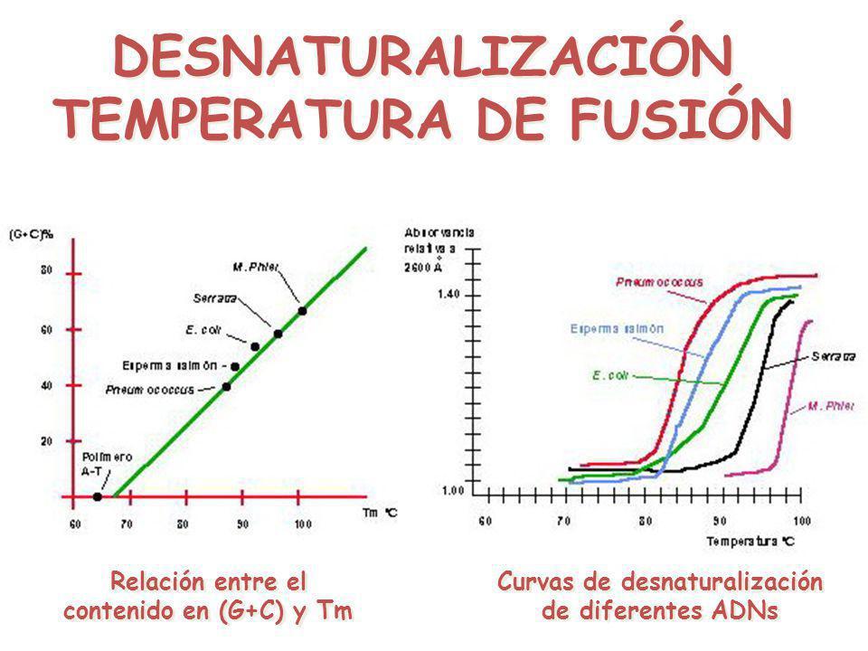 DESNATURALIZACIÓN TEMPERATURA DE FUSIÓN DESNATURALIZACIÓN TEMPERATURA DE FUSIÓN Relación entre el contenido en (G+C) y Tm Curvas de desnaturalización