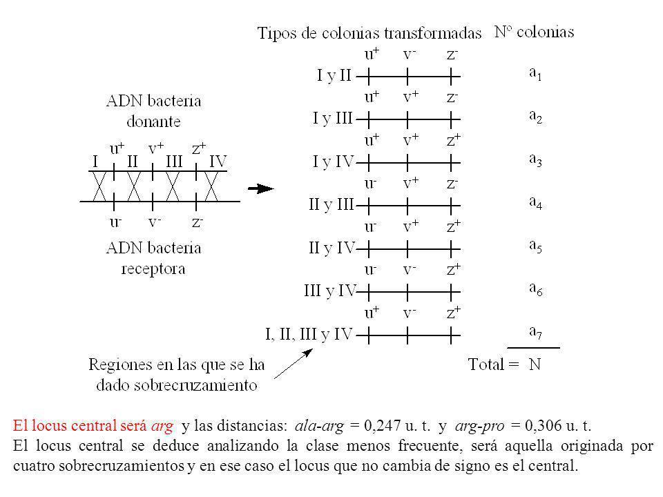 El locus central será arg y las distancias: ala-arg = 0,247 u. t. y arg-pro = 0,306 u. t. El locus central se deduce analizando la clase menos frecuen