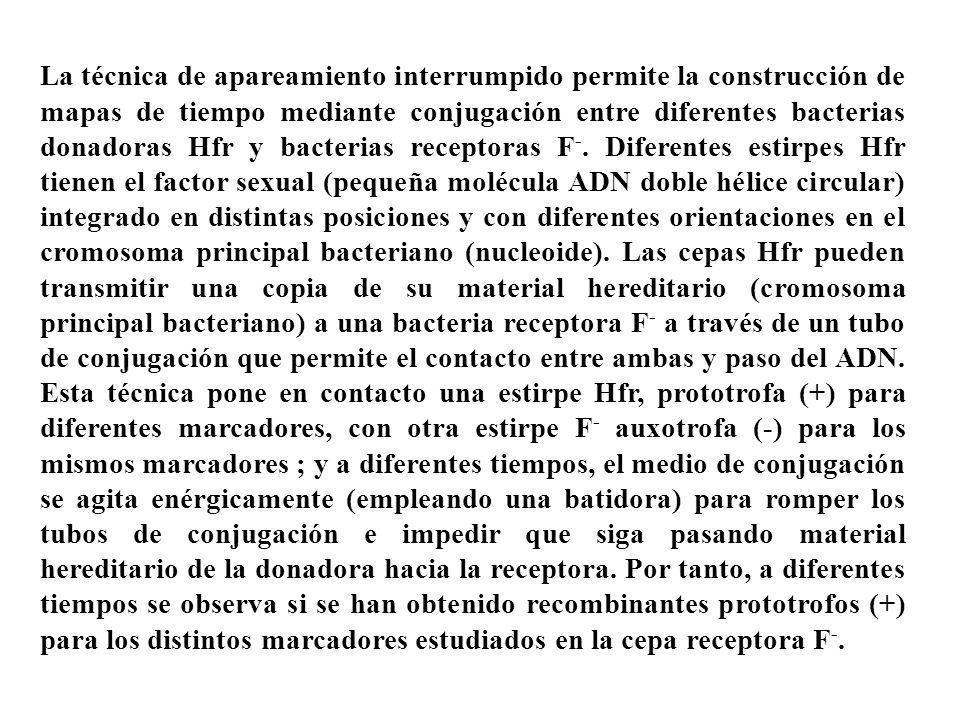 La técnica de apareamiento interrumpido permite la construcción de mapas de tiempo mediante conjugación entre diferentes bacterias donadoras Hfr y bac