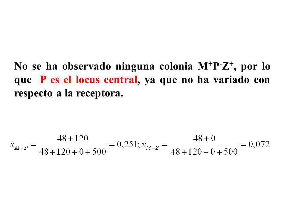No se ha observado ninguna colonia M + P - Z +, por lo que P es el locus central, ya que no ha variado con respecto a la receptora.
