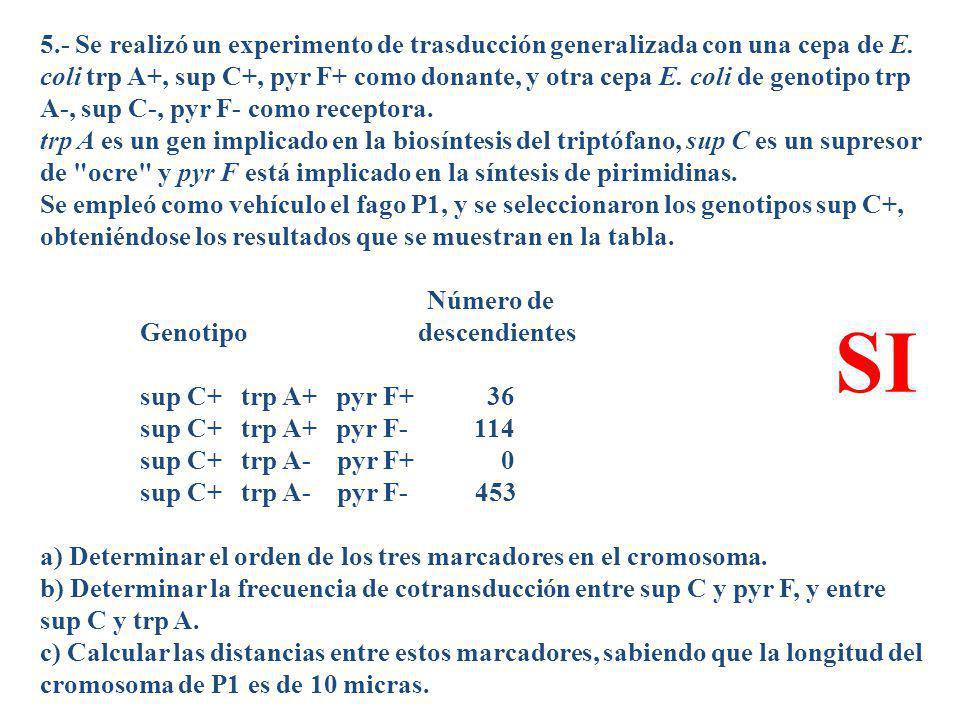 5.- Se realizó un experimento de trasducción generalizada con una cepa de E. coli trp A+, sup C+, pyr F+ como donante, y otra cepa E. coli de genotipo