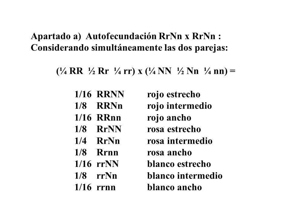 Apartado a) Autofecundación RrNn x RrNn : Considerando simultáneamente las dos parejas: (¼ RR ½ Rr ¼ rr) x (¼ NN ½ Nn ¼ nn) = 1/16 RRNNrojo estrecho 1