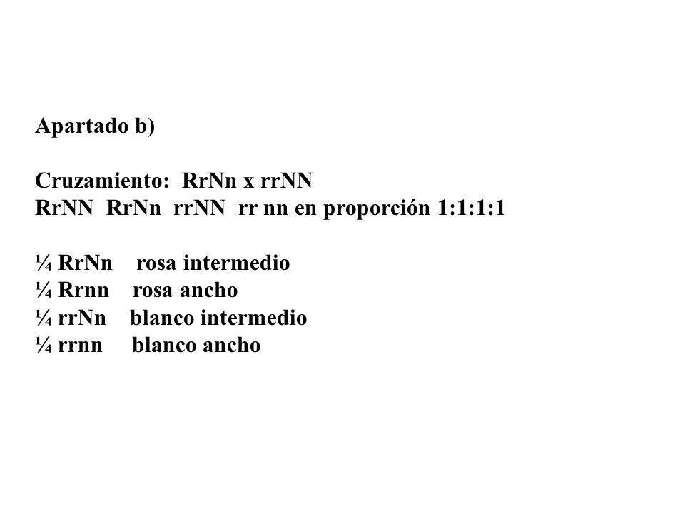 Apartado b) Cruzamiento: RrNn x rrNN RrNN RrNn rrNN rr nn en proporción 1:1:1:1 ¼ RrNn rosa intermedio ¼ Rrnn rosa ancho ¼ rrNn blanco intermedio ¼ rr