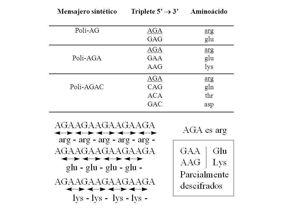 Mensajero sintético Triplete 5 3 Aminoácido Poli-AGAGA GAG arg glu Poli-AGA AGA GAA AAG arg glu lys Poli-AGAC AGA CAG ACA GAC arg gln thr asp