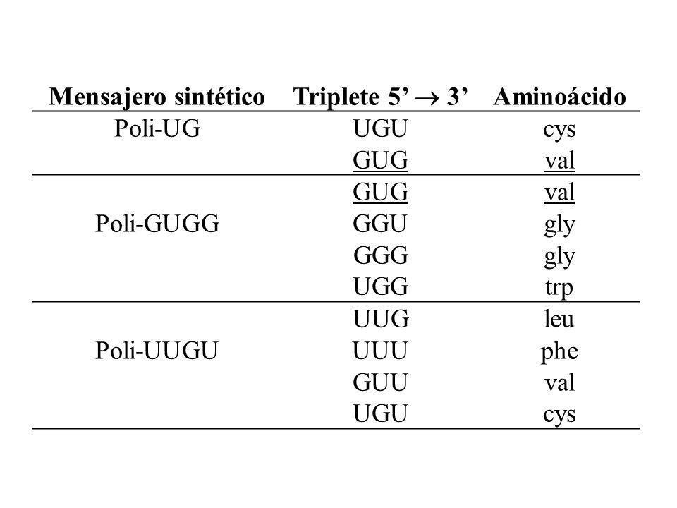 Mensajero sintético Triplete 5 3 Aminoácido Poli-UGUGU GUG cys val Poli-GUGG GUG GGU GGG UGG val gly trp Poli-UUGU UUG UUU GUU UGU leu phe val cys