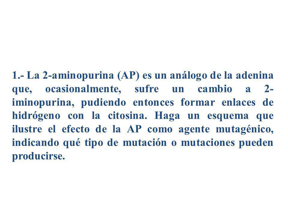 1.- La 2-aminopurina (AP) es un análogo de la adenina que, ocasionalmente, sufre un cambio a 2- iminopurina, pudiendo entonces formar enlaces de hidró