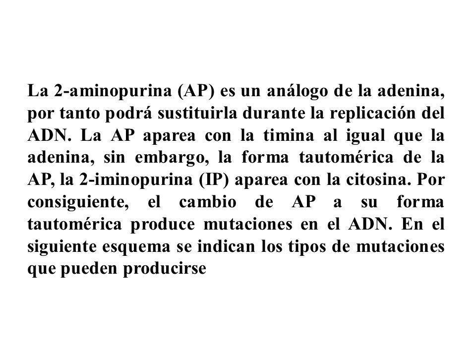 La 2-aminopurina (AP) es un análogo de la adenina, por tanto podrá sustituirla durante la replicación del ADN. La AP aparea con la timina al igual que