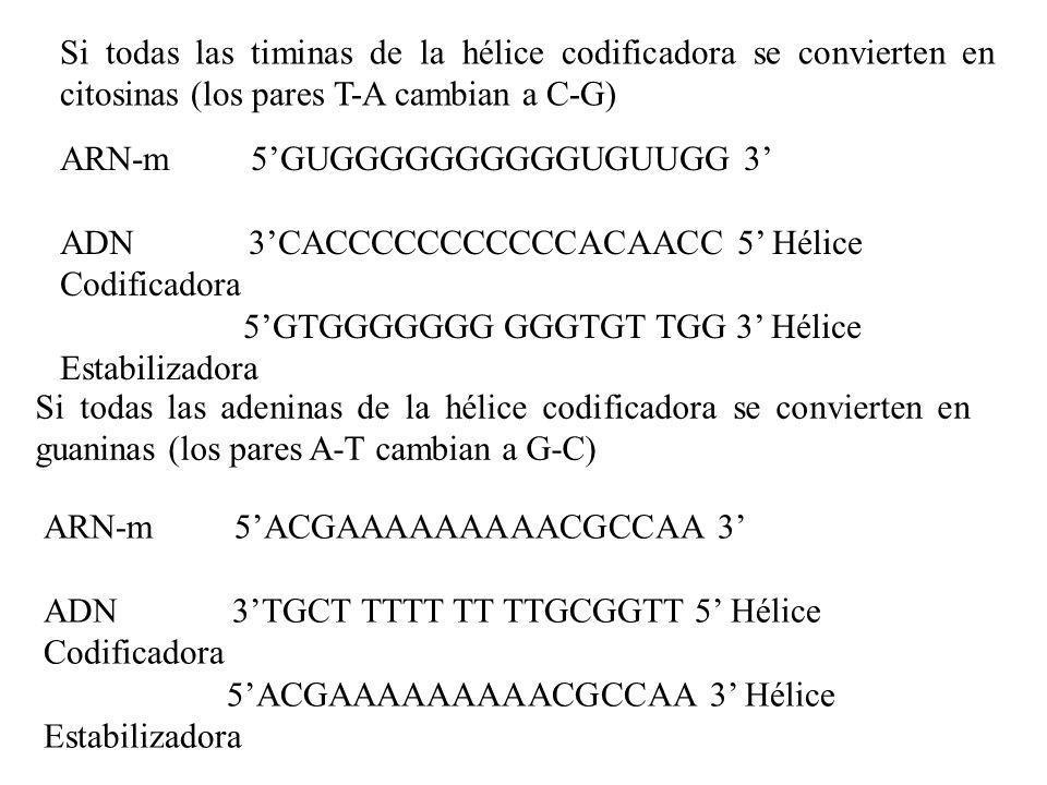 ARN-m 5GUGGGGGGGGGGUGUUGG 3 ADN 3CACCCCCCCCCCCACAACC 5 Hélice Codificadora 5GTGGGGGGG GGGTGT TGG 3 Hélice Estabilizadora ARN-m 5ACGAAAAAAAAACGCCAA 3 A