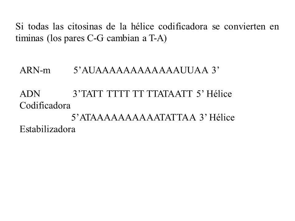 ARN-m 5AUAAAAAAAAAAAAUUAA 3 ADN 3TATT TTTT TT TTATAATT 5 Hélice Codificadora 5ATAAAAAAAAAATATTAA 3 Hélice Estabilizadora Si todas las citosinas de la