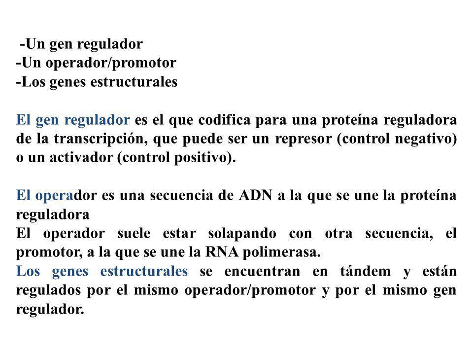 -Un gen regulador -Un operador/promotor -Los genes estructurales El gen regulador es el que codifica para una proteína reguladora de la transcripción,