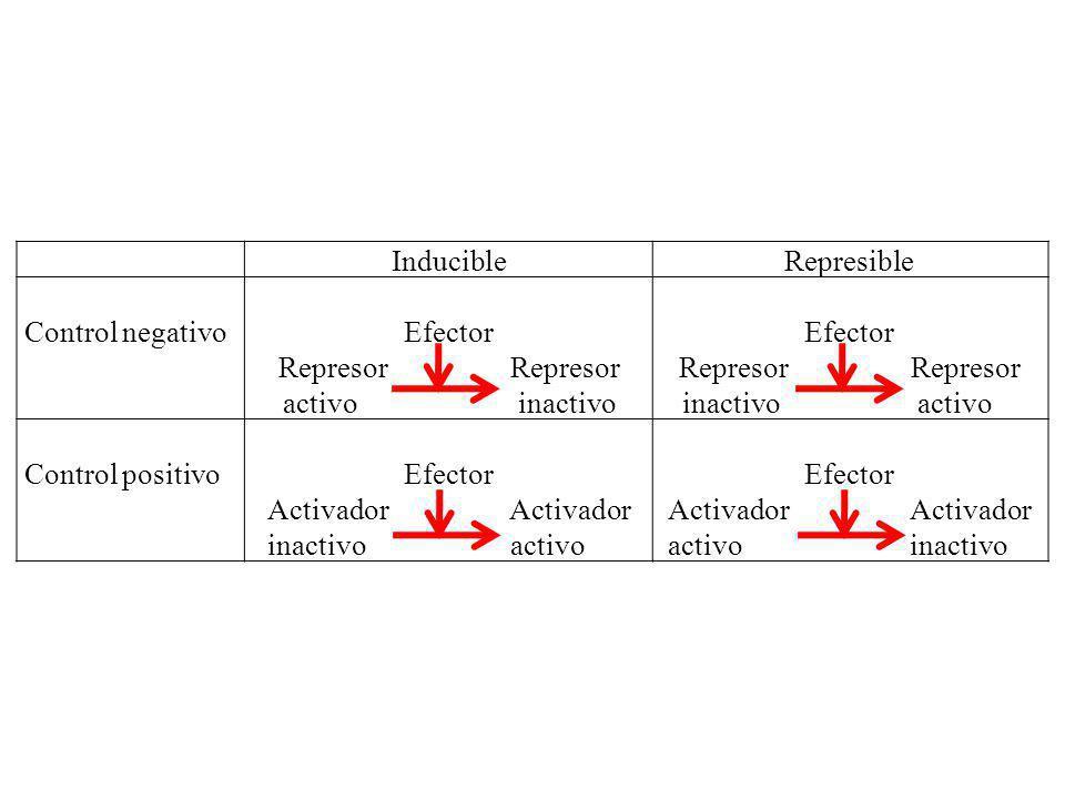 InducibleRepresible Control negativoEfector Represor activo inactivo Efector Represor inactivo activo Control positivoEfector Activador inactivo activ