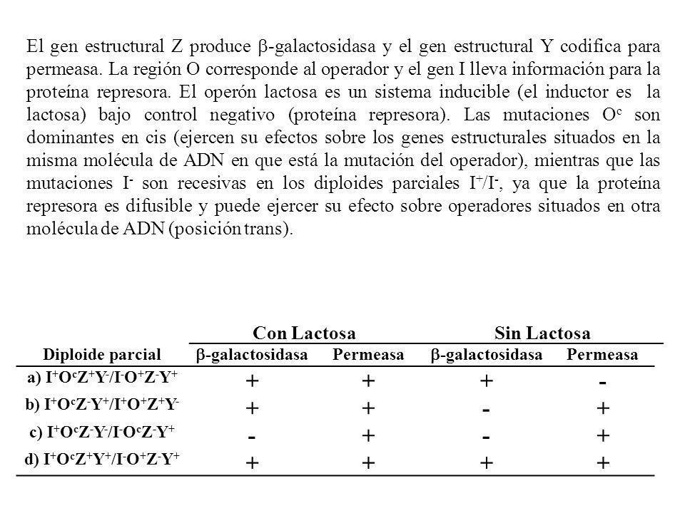 Con LactosaSin Lactosa Diploide parcial -galactosidasa Permeasa -galactosidasa Permeasa a) I + O c Z + Y - /I - O + Z - Y + +++- b) I + O c Z - Y + /I