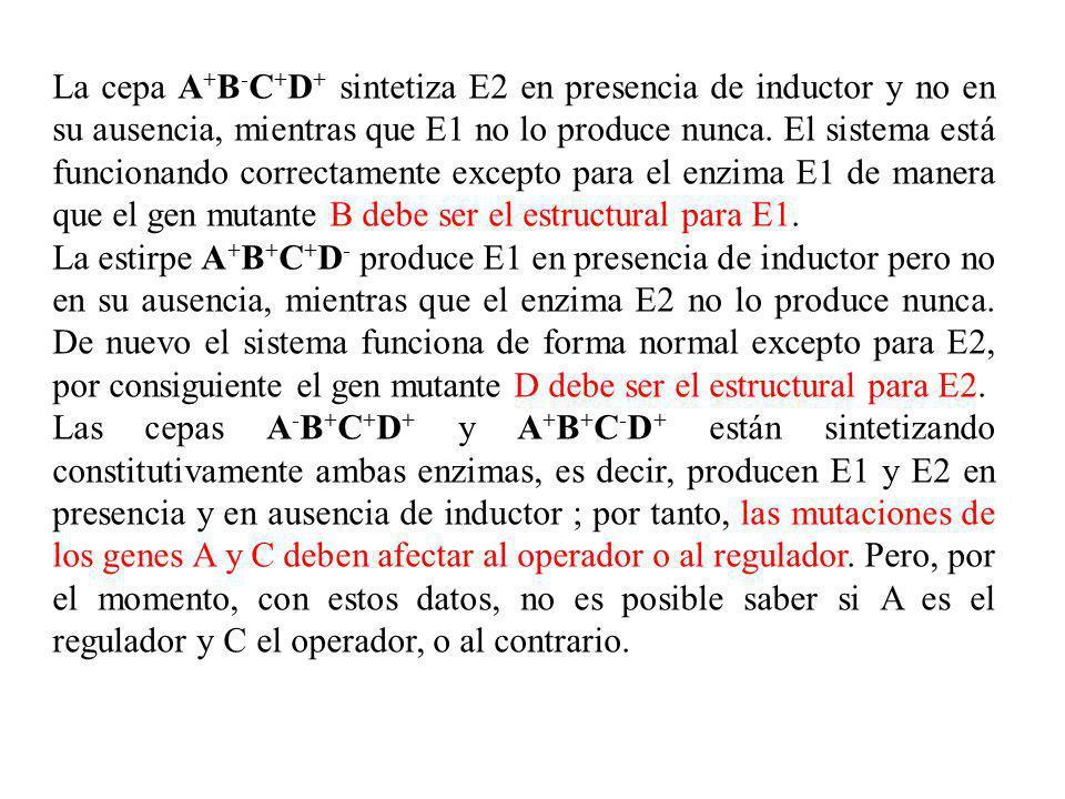 La cepa A + B - C + D + sintetiza E2 en presencia de inductor y no en su ausencia, mientras que E1 no lo produce nunca. El sistema está funcionando co