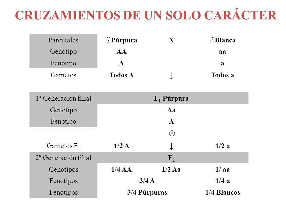ParentalesPúrpura X Blanca GenotipoAA aa FenotipoA a GametosTodos A Todos a 1ª Generación filial F 1 Púrpura Genotipo Aa Fenotipo A Gametos F 1 1/2 A