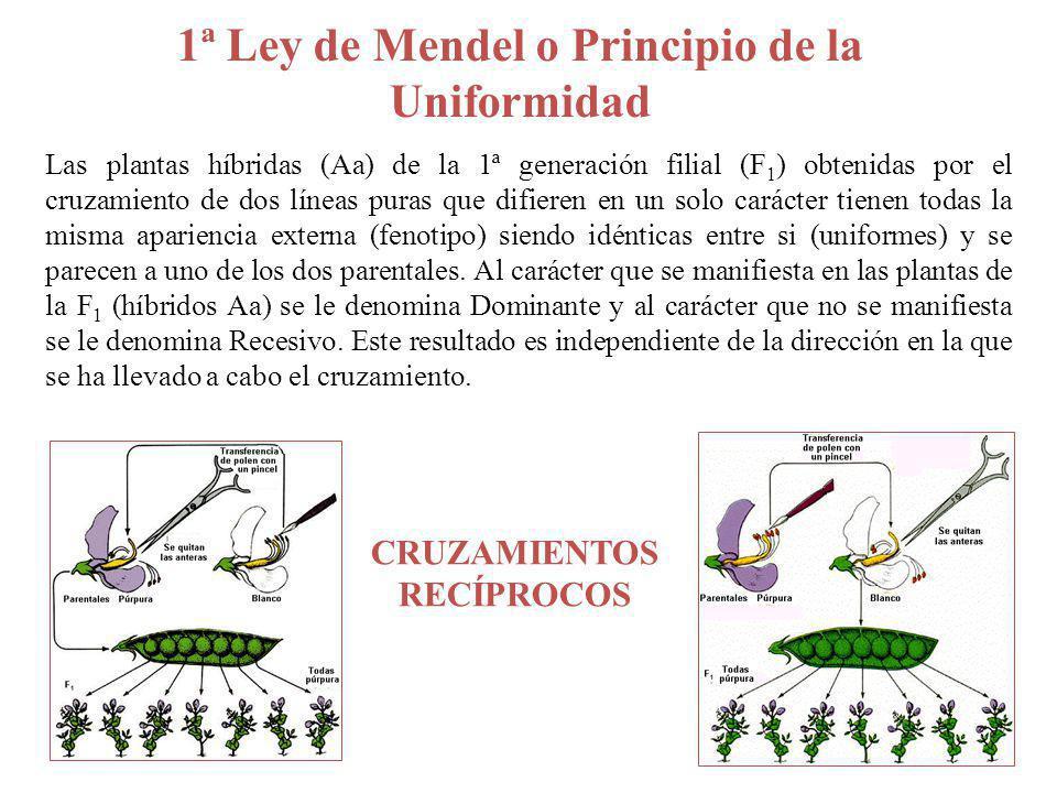 3ª Ley o Principio de la Combinación independiente A a ½ ½ B b ½ ½ AB ¼ Ab ¼ aB ¼ ab ¼ Aa Bb Diheterocigoto