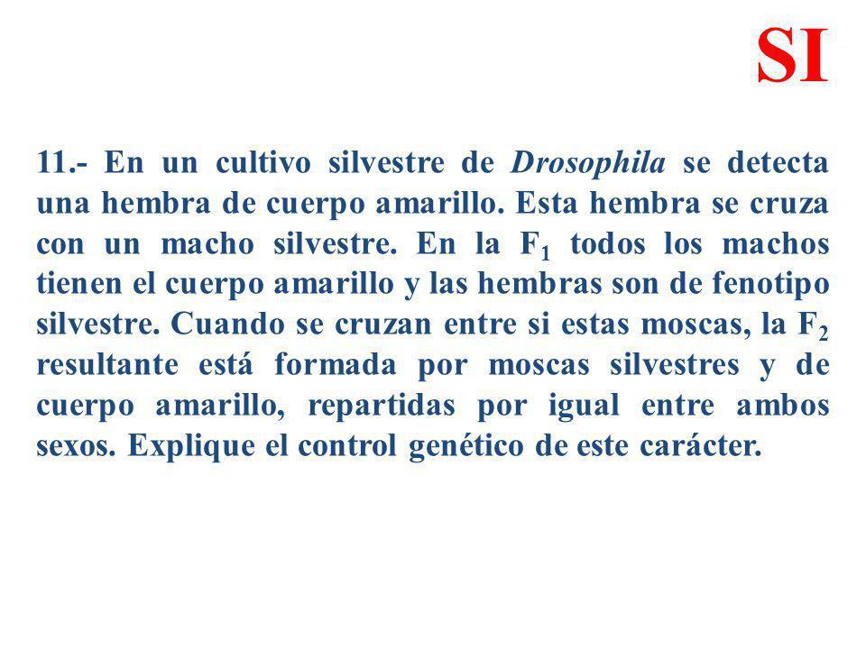 11.- En un cultivo silvestre de Drosophila se detecta una hembra de cuerpo amarillo. Esta hembra se cruza con un macho silvestre. En la F 1 todos los