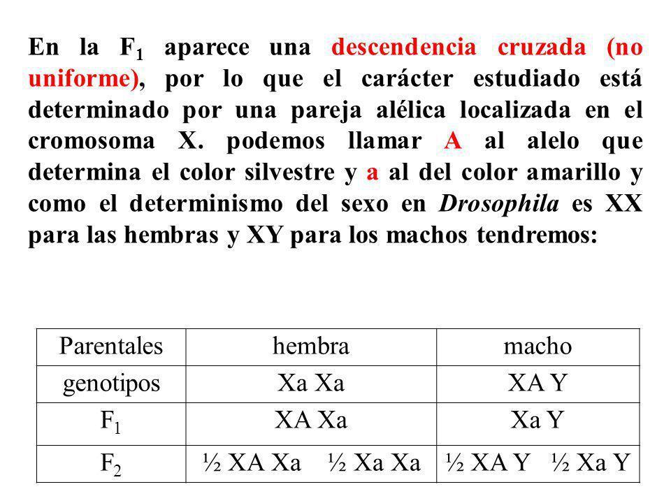 En la F 1 aparece una descendencia cruzada (no uniforme), por lo que el carácter estudiado está determinado por una pareja alélica localizada en el cr