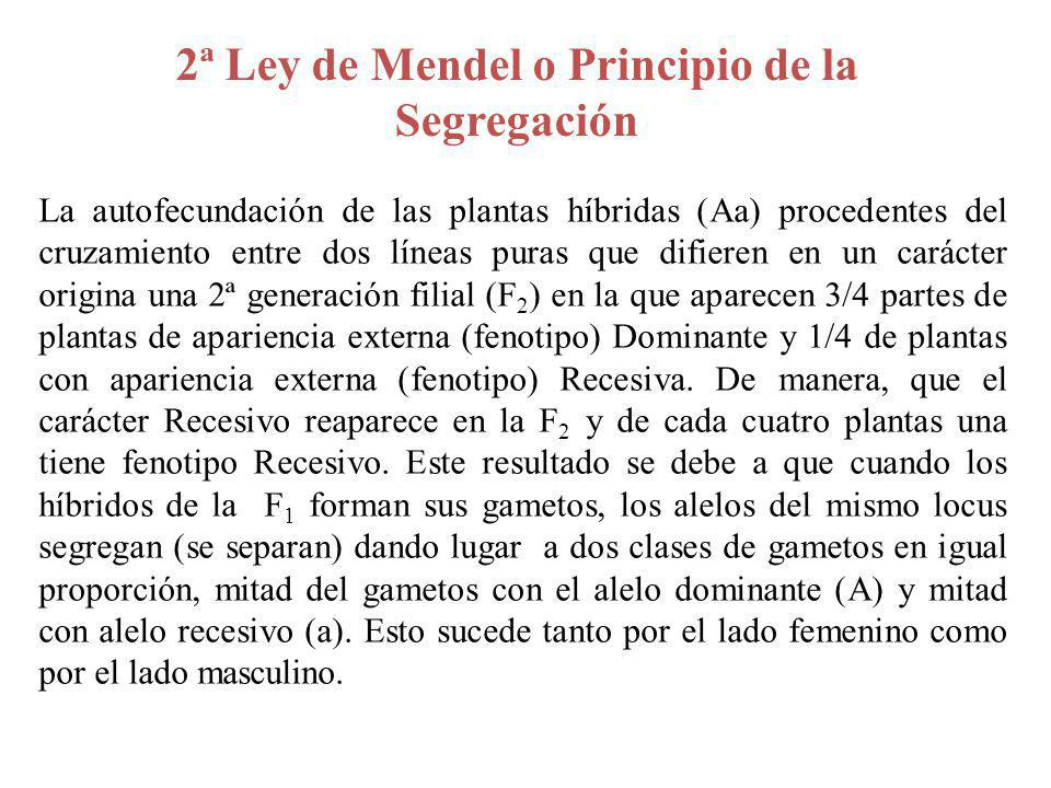 Principio de la Segregación Gametos Femeninos F 1 1/2 A1/2 a Gametos Masculinos F 1 1/2 A1/4 AA (Fenotipo A)1/4 Aa (Fenotipo (A) 1/2 a1/4 Aa (Fenotipo A)14 aa (Fenotipo a) 2ª Ley de Mendel o Principio de la Segregación A a ½ ½ Aa Heterocigoto Gametos