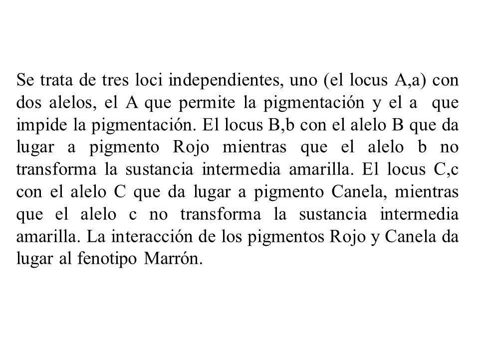 Se trata de tres loci independientes, uno (el locus A,a) con dos alelos, el A que permite la pigmentación y el a que impide la pigmentación. El locus