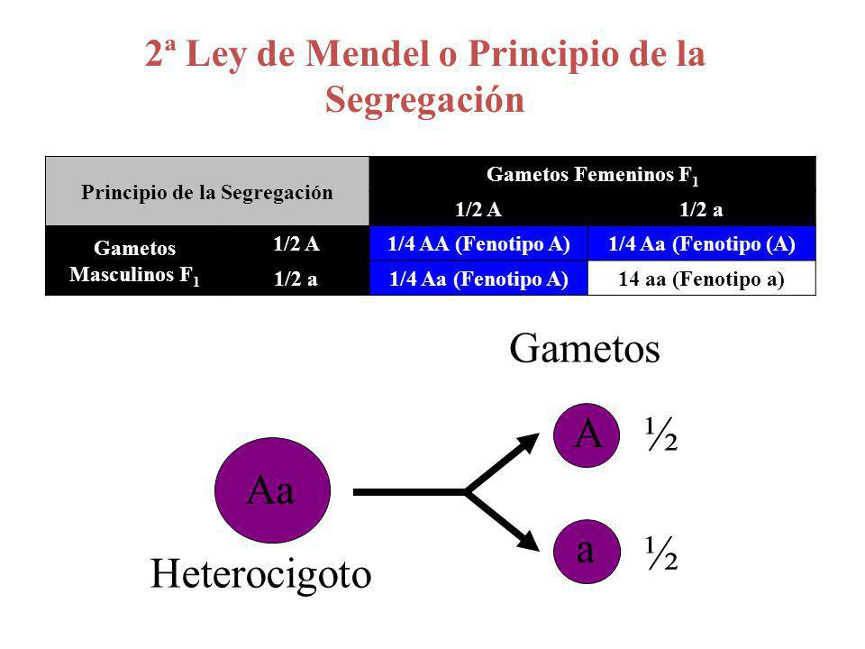 A½A½ a½a½ A½A½ AA ¼ Aa ¼ a½a½ Aa ¼ aa ¼ F2F2 Aa AA x aaParentales F1F1 Fenotipo A (uniforme) 2ª Ley de Mendel o Principio de la Segregación Genotipos ¼ AA + ½ Aa + ¼ aa Fenotipos ¾ A + ¼ a F2F2