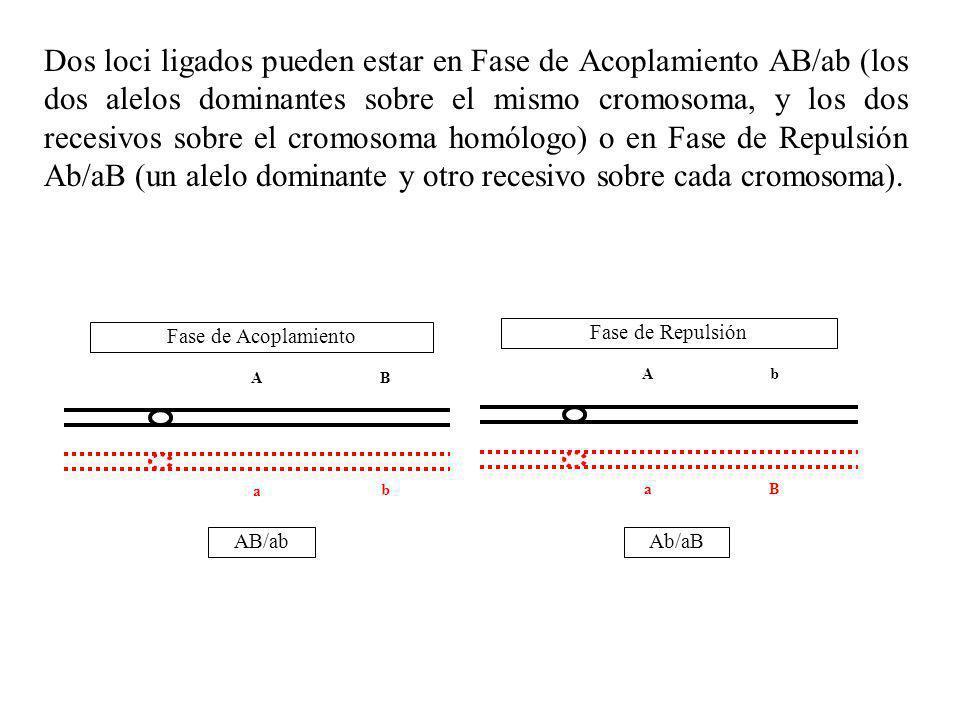 Fase de Acoplamiento AB a b AB/ab Fase de Repulsión Ab aB Ab/aB Dos loci ligados pueden estar en Fase de Acoplamiento AB/ab (los dos alelos dominantes