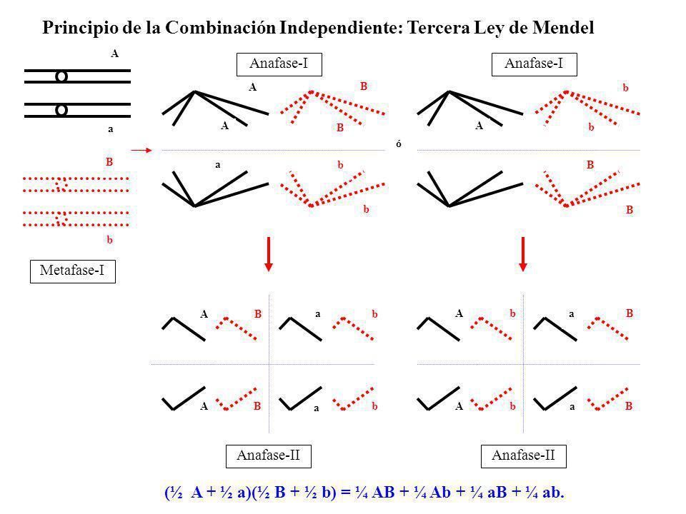 AB a a b b AB B B A A b b a a Anafase-II A b B A A A B B B b b b b ó a Metafase-I Anafase-I B a Principio de la Combinación Independiente: Tercera Ley