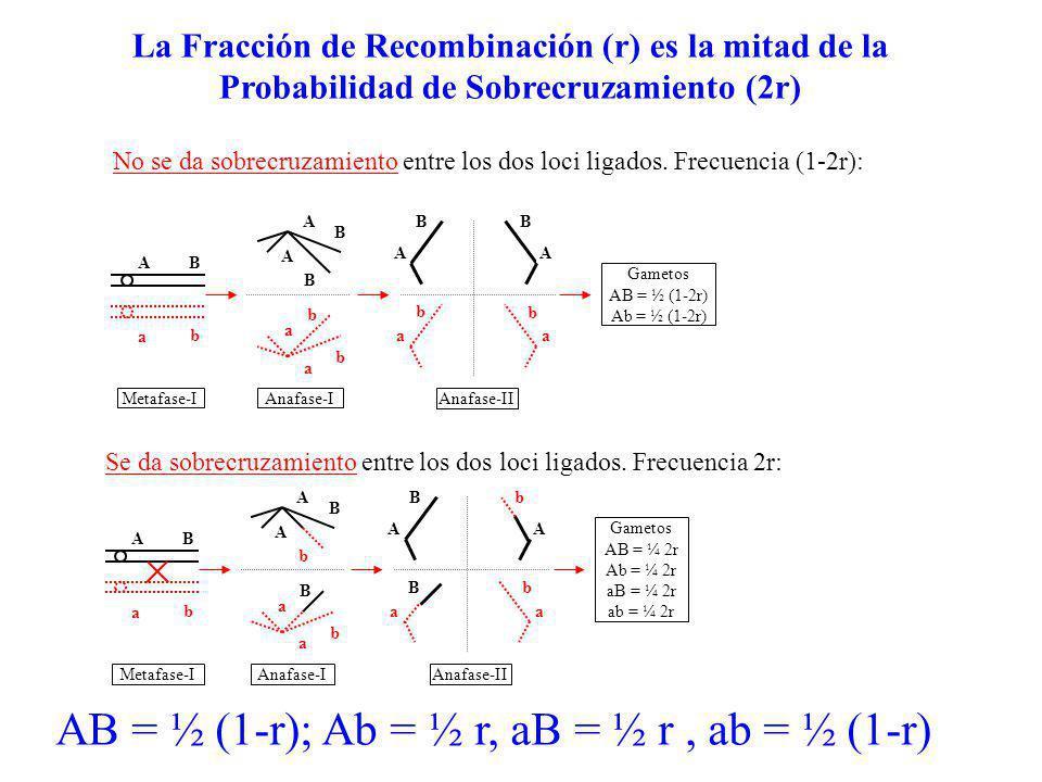 AB a b A B A B a a b b AA BB aa b b Gametos AB = ½ (1-2r) Ab = ½ (1-2r) Anafase-IAnafase-IIMetafase-I Gametos AB = ¼ 2r Ab = ¼ 2r aB = ¼ 2r ab = ¼ 2r