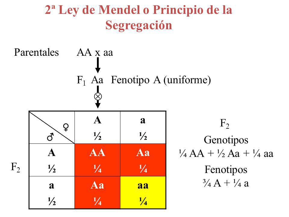 A½A½ a½a½ A½A½ AA ¼ Aa ¼ a½a½ Aa ¼ aa ¼ F2F2 Aa AA x aaParentales F1F1 Fenotipo A (uniforme) 2ª Ley de Mendel o Principio de la Segregación Genotipos