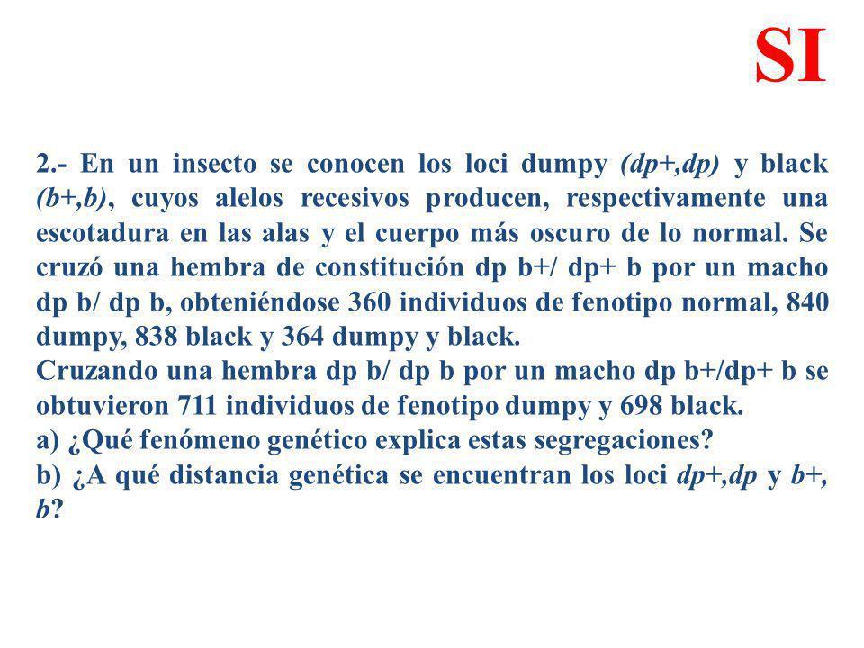 2.- En un insecto se conocen los loci dumpy (dp+,dp) y black (b+,b), cuyos alelos recesivos producen, respectivamente una escotadura en las alas y el