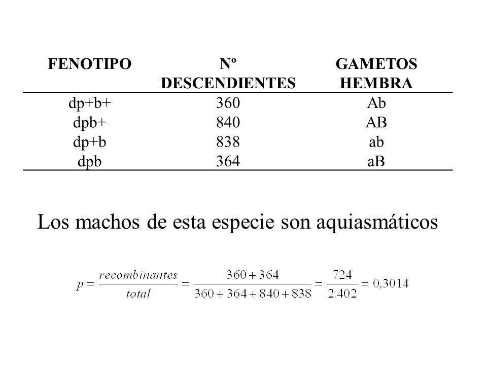 FENOTIPONº DESCENDIENTES GAMETOS HEMBRA dp+b+360Ab dpb+840AB dp+b838ab dpb364aB Los machos de esta especie son aquiasmáticos