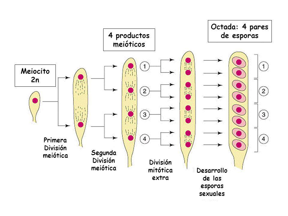 Meiocito 2n 4 productos meióticos Octada: 4 pares de esporas Primera División meiótica Segunda División meiótica División mitótica extra Desarrollo de