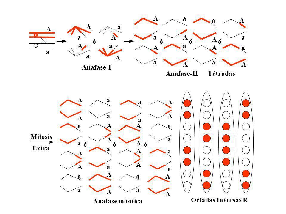 Mitosis Extra A A a a a a A A Octadas Inversas R a a A A A A a a a a A A A A a a A A a a a a A A óóó Anafase mitótica